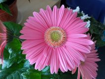 Rosa gerberablomma som blommar inomhus i Maj arkivbilder