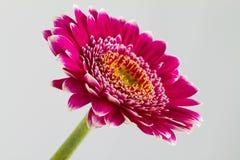Rosa gerberablommor islolated på vit bakgrund Royaltyfria Foton