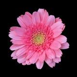 Rosa Gerberablume lokalisiert auf schwarzem Hintergrund, Gerbera-Gänseblümchen, rosa Chrysanthemenblume stockfotos