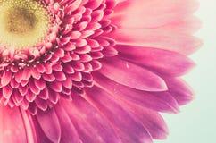 Rosa Gerberagänseblümchen Stockbild