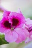 Rosa Germaniumblume lokalisiert von anderen Lizenzfreie Stockbilder