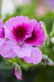 Rosa Germaniumblume lokalisiert von anderen auf grüner Laubrückseite Lizenzfreie Stockfotos