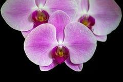 Rosa gestreifte Orchideenblume Lizenzfreies Stockbild