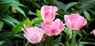 Rosa gestreifte Tulpen schließen oben lizenzfreie stockfotos