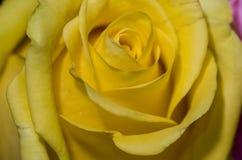 Rosa gialla 2 Immagine Stock