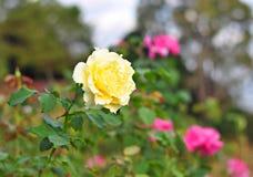 Rosa gialla Immagine Stock