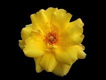 Rosa gialla Immagini Stock Libere da Diritti