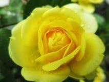Rosa gialla 2 Fotografie Stock Libere da Diritti