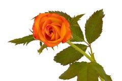 Rosa gialla con le foglie fotografia stock