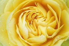 Rosa gialla con le gocce di pioggia Fotografia Stock
