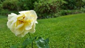 Rosa gialla con le gocce di pioggia Immagini Stock