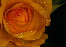 Rosa gialla con le goccioline della pioggia fotografia stock