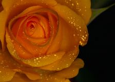 Rosa gialla con le goccioline della pioggia immagine stock libera da diritti
