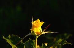 Rosa gialla contro fondo scuro Immagine Stock