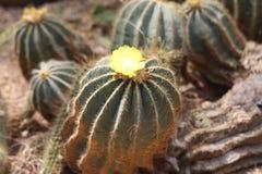 Rosa gialla di TX Fotografie Stock Libere da Diritti