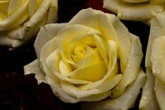 Rosa gialla eccellente fotografie stock