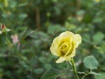 Rosa gialla in The Field Fotografie Stock Libere da Diritti