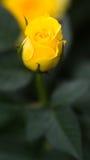 Rosa gialla germogliante Immagine Stock Libera da Diritti
