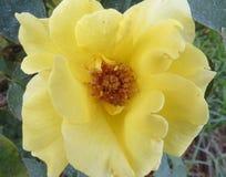 Rosa gialla molle e adorabile Fotografia Stock Libera da Diritti