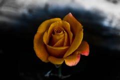 Rosa gialla scura nel mio giardino fotografie stock libere da diritti