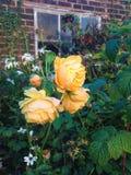 Rosa gialla selvaggia Fotografie Stock Libere da Diritti
