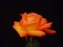 Rosa gialla variopinta Fotografia Stock Libera da Diritti