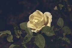 Rosa giallo limone in nebbia Fotografie Stock Libere da Diritti