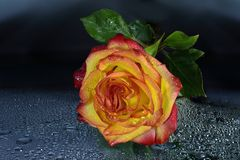 Rosa giallo-rossa bagnata luminosa con le gocce di acqua su fondo scuro Immagine Stock