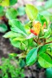 rosa Giallo-rossa nel giardino fotografia stock