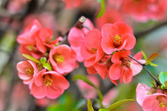 Rosa giapponese Fotografie Stock Libere da Diritti