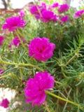 Rosa giapponese Fotografia Stock