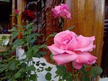 Rosa in giardino fotografie stock libere da diritti