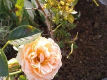 Rosa in giardino immagini stock libere da diritti