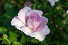 Rosa in giardino Fotografia Stock Libera da Diritti