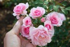 Rosa in giardino Fotografie Stock