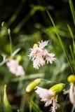 Rosa gillyflowers lizenzfreies stockbild