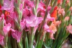Rosa Gladiole Stockbild