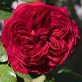Rosa glaring del rojo en jardín fotografía de archivo libre de regalías