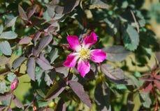 Rosa glauca Fotografering för Bildbyråer