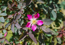 Rosa glauca. (Red-leaved Rose or Redleaf Rose Stock Image