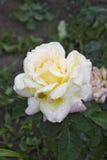 Rosa Gloria Dei Fotografía de archivo libre de regalías