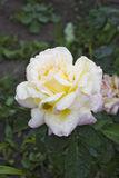 Rosa Gloria Dei. Rose Gloria Dei with a blurred background with green leaves on the land Royalty Free Stock Photography