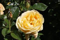 Rosa Glorious Interictira. Hybrid tea rose variety at Christchurch Botanical Garden, New Zealand Stock Photo