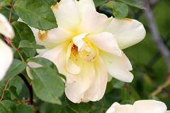 Rosa 'Golden Showers' Royalty Free Stock Images