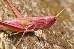 Rosa gräshoppa Arkivbilder
