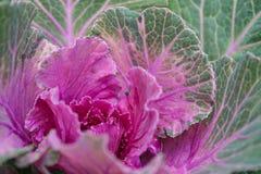 Rosa grön kål Royaltyfria Bilder