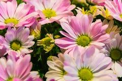 Rosa Grün-Blumen-Blumenblätter bündeln Radial-Bouqet-Speicher draußen BAC stockfotos