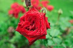 Rosa grande del rojo con las gotitas en un jardín Fotografía de archivo