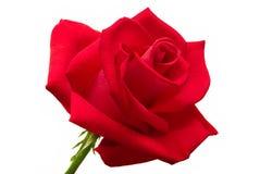 Rosa grande do vermelho isolada Imagem de Stock Royalty Free