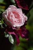 Rosa grande hermosa del rosa Foto de archivo